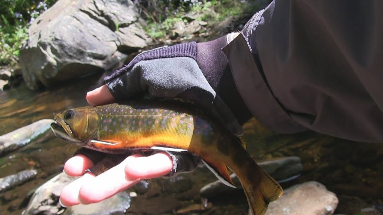Red run creek wv tenkara fly fishing youtube for Trout fishing in wv