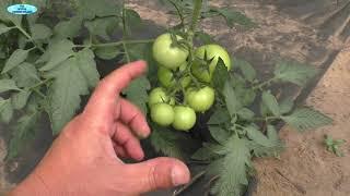 Томаты: почему нельзя удалять листья НАД кистью с плодами.