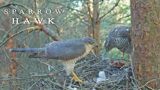 Birds of prey. Tragedy in the bird nest. Sparrowhawk during breeding season.