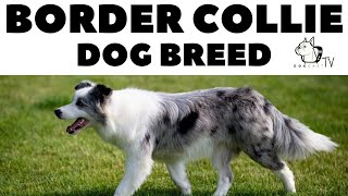 The Border Collie Dog Breed  DogCastTV!