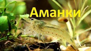 Креветки Амано в аквариуме