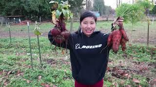 Thu hoạch cà rốt khổng lồ, củ dền đỏ, đào khoai tây, vườn chị bạn