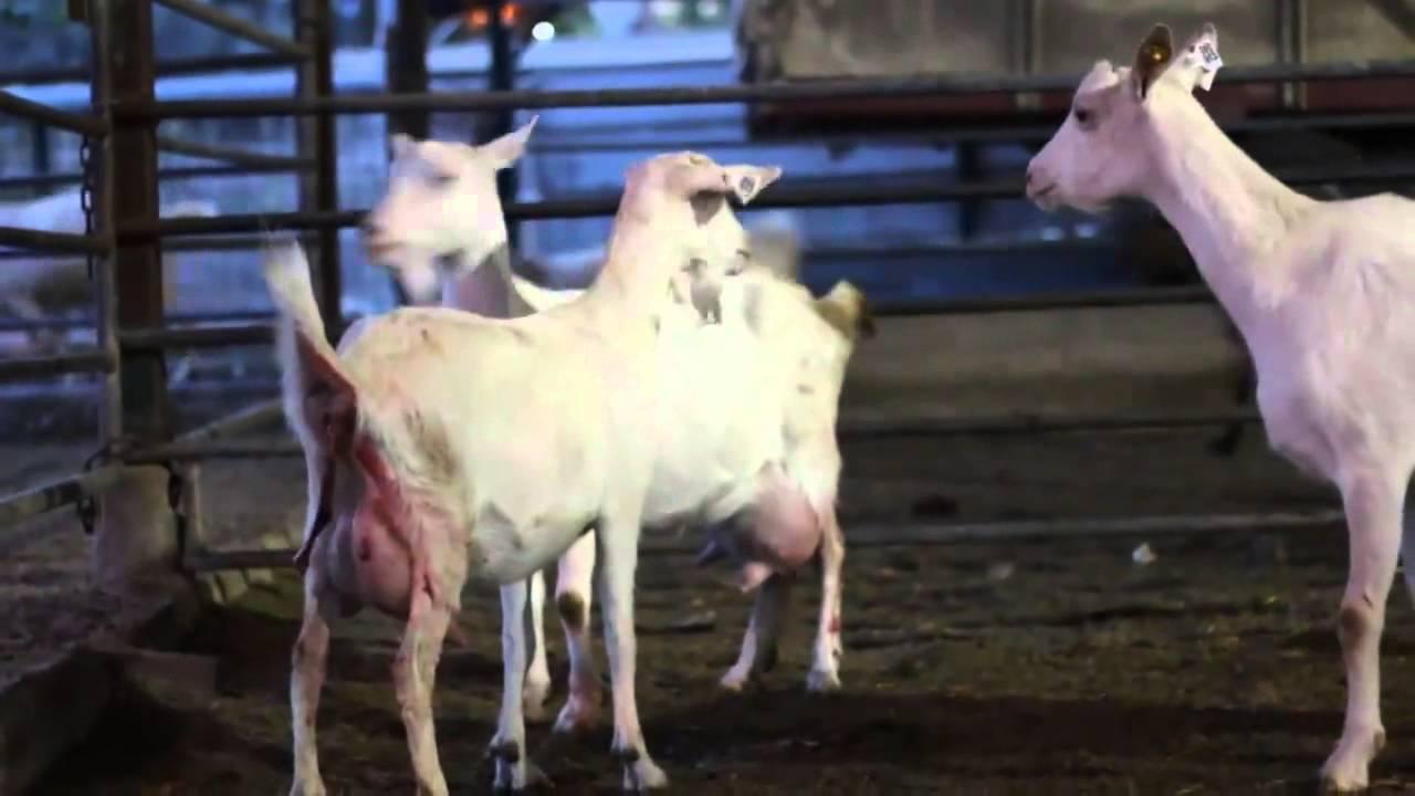 מותג חדש חלב עזים - דיר כבשים ועזים ביישוב שדה יעקב - YouTube FI-13