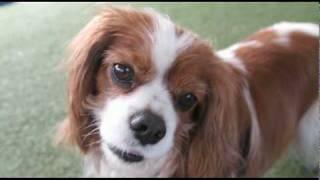Eli Agility Dec 2009, She's Our Cavalier King Charles Spaniel