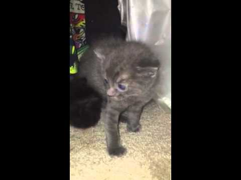3 Week Old Mad Hissing Kitten Youtube