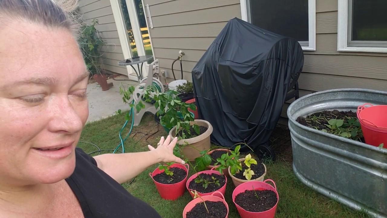 Putting Blackberries Into Pots!