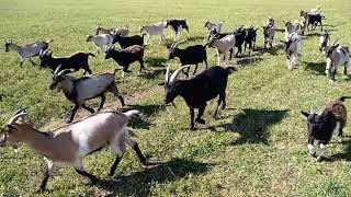 stado kóz kameruńskich