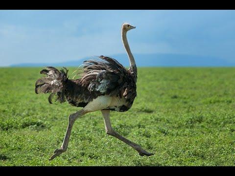 World's Largest Bird - Flightless Bird Ostrich At Mysore ...