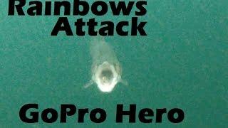 How Rainbow Trout Attack Thomas Lures Colorado Spoon