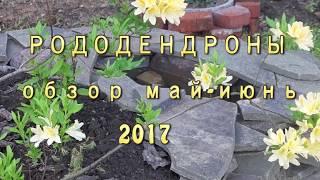 Обзор РОДОДЕНДРОНОВ май-июнь 2017