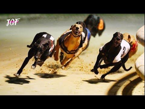 Track race -  Dog race -  Racing greyhounds