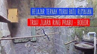 Video KISAH SUKSES : Belajar Ternak Murai Batu Rumahan RING PRABU Bogor download MP3, 3GP, MP4, WEBM, AVI, FLV Maret 2018