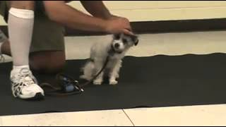 Star Puppy Class At Chief Solano Kennel Club