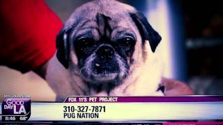 Gdla Pet Project 07/15/15 Charles From Pug Nation Of La