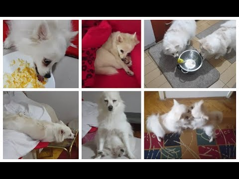 THE FUNNIEST DOG BREED YOU WILL EVER MEET (Klein German Spitz)