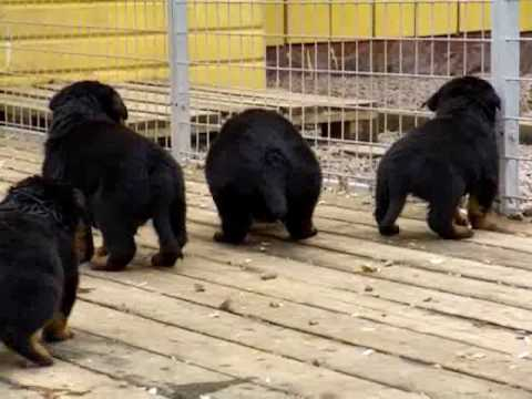 Rottweiler puppies 4 weeks old