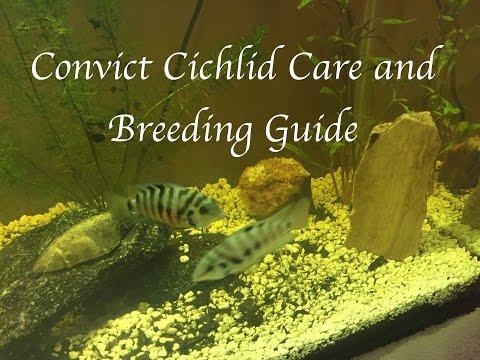 Convict Cichlid Care And Breeding Guide