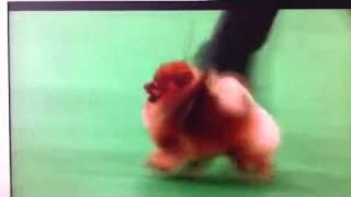 Calvin The Spinning Pomeranian