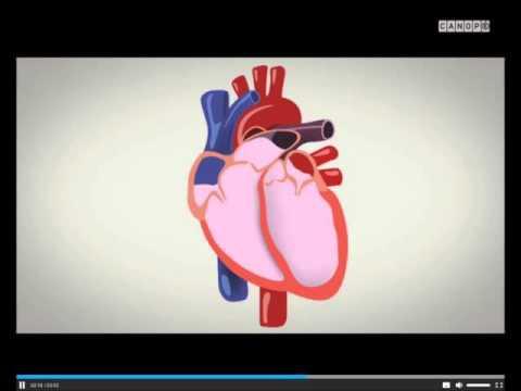 La circulation sanguine, explications