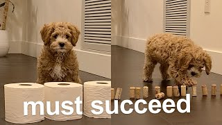 Cavoodle Obstacle Challenge [Very   CUTE]