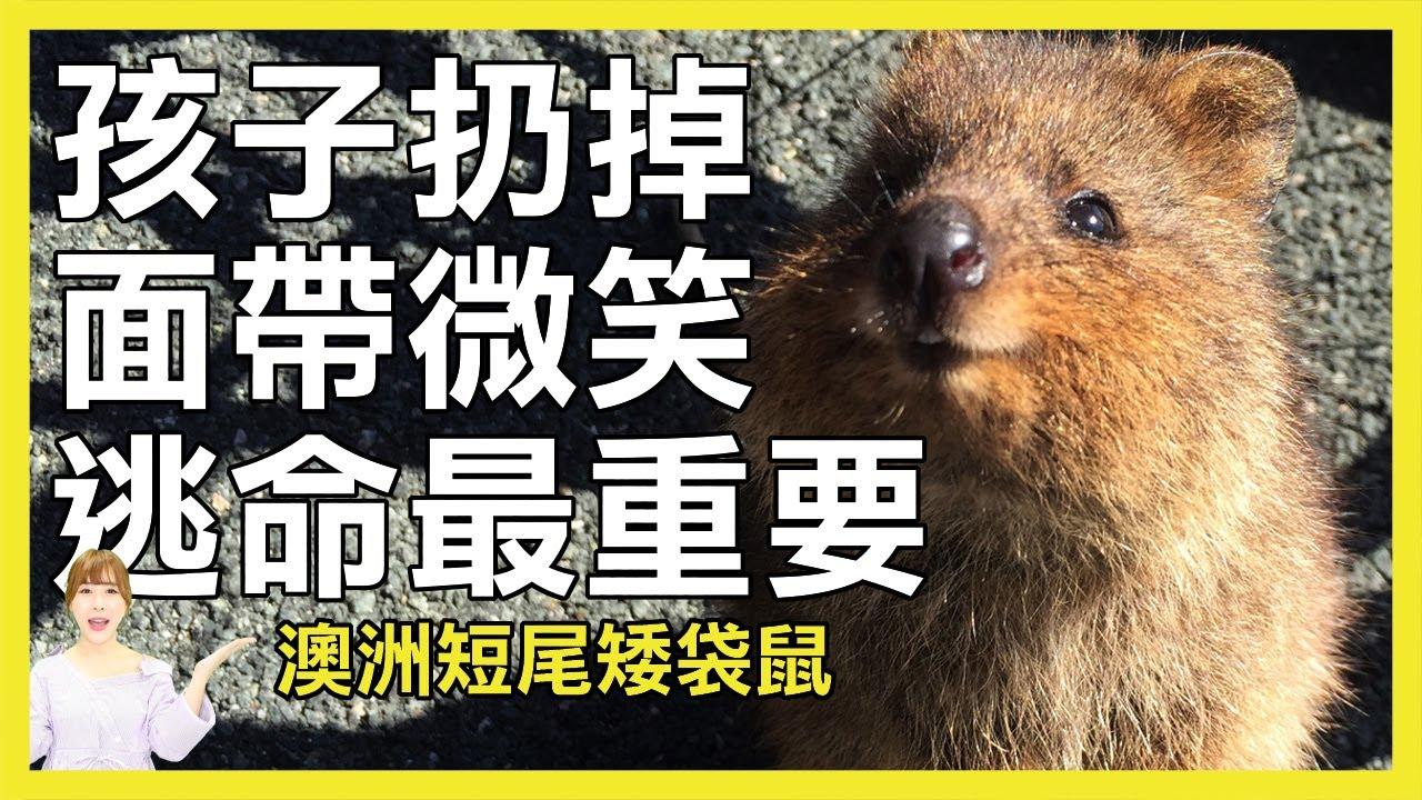 世界上最快樂的動物 永遠保持微笑的澳洲短尾矮袋鼠Quokka|寵物
