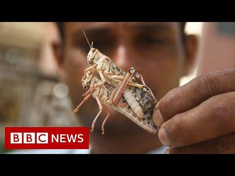 Locust swarms destroy crops across India - BBC News