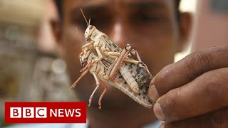Locust swarms destroy crops across India - BBC News