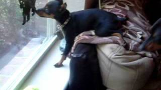 Uzi The Min Pin Doing Kratos' Watch Dog Stance