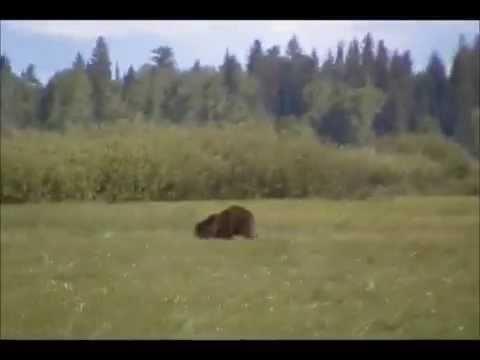 How fast an adult brown bear runs