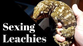 Sexing Rhacodactylus Leachianus Geckos