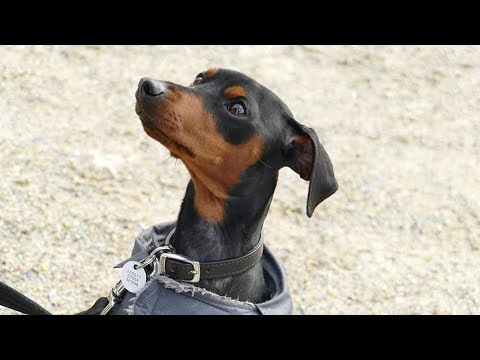 Rufus - 18 month old Miniature Pinscher - 6 Weeks Residential Dog Training