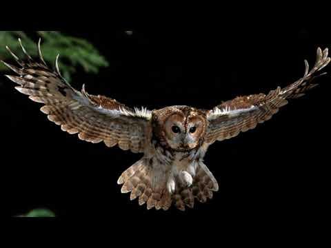 Owl Hooting Ringtone  Free Ringtones Downloads