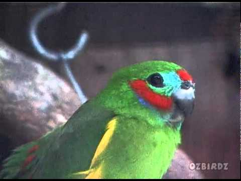 Double-Eyed Fig Parrot.