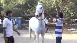 अकलूजला भरलाय घोड्यांचा बाजार