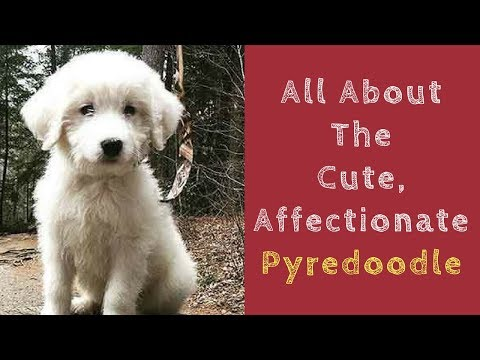 All About The Cute, Affectionate Pyredoodle
