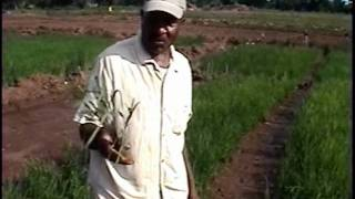 Rice Farming in Jamaica pt2 of 4