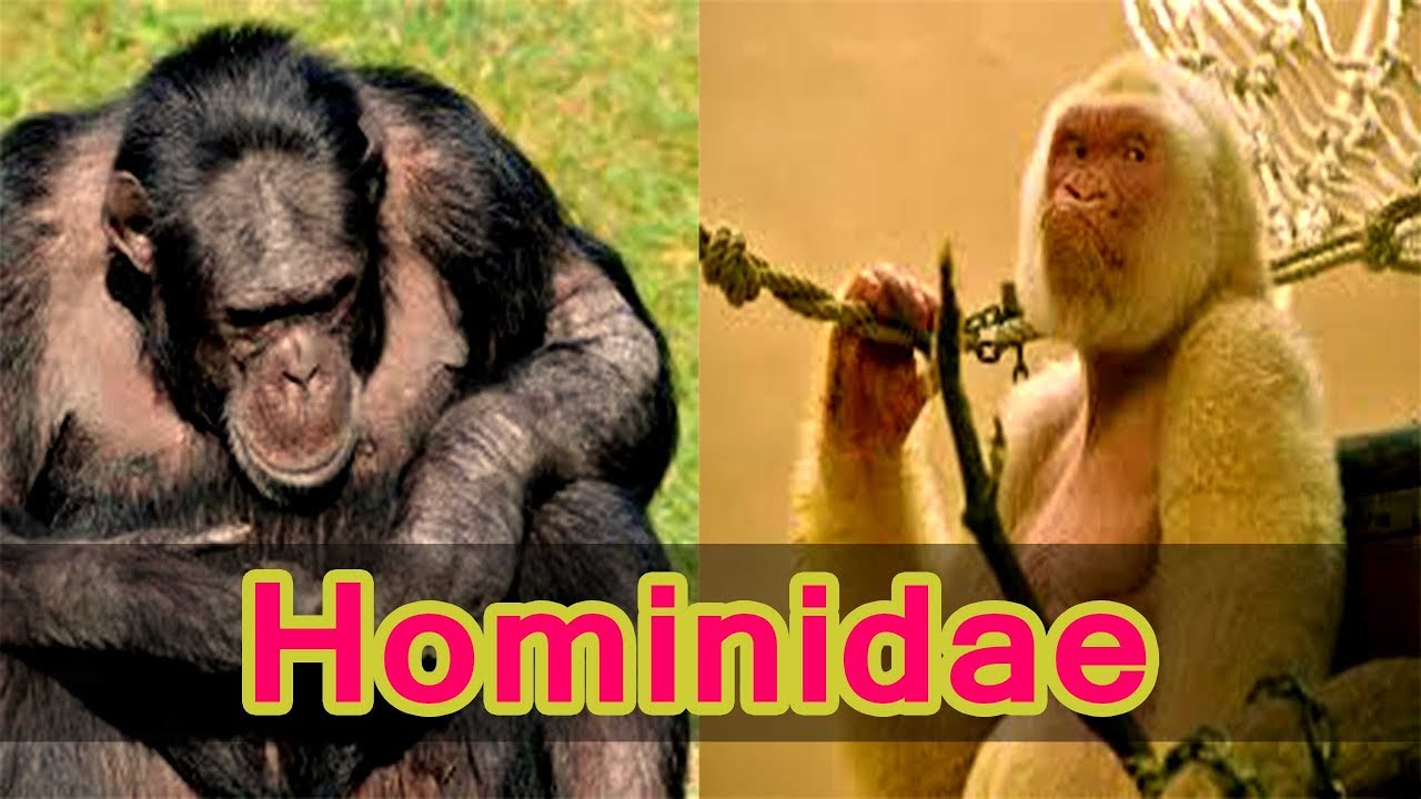 hominidae great apes gorilla world history in hindi online