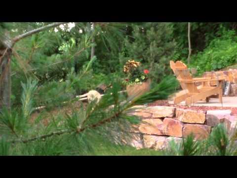 Coyote Attack Dog in Edina, MN