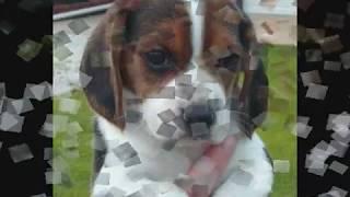 Beagle Puppies!