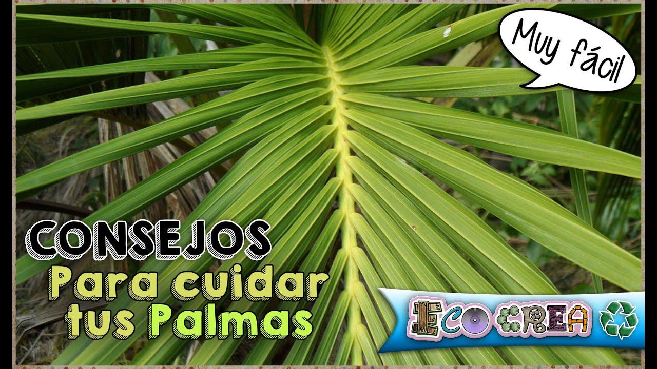 CONSEJOS: CÓMO CUIDAR TUS PLANTAS - PALMAS O PALMERAS - YouTube