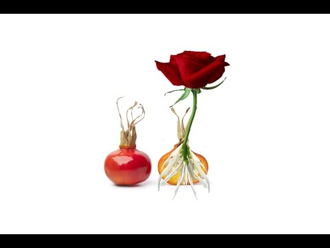How To Grow Roses From Seed Fast And Easy Way Growing
