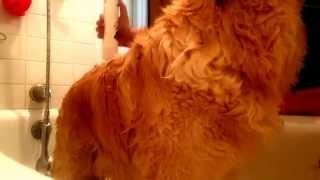 How To Give Your Golden Retriever A Bath ;)