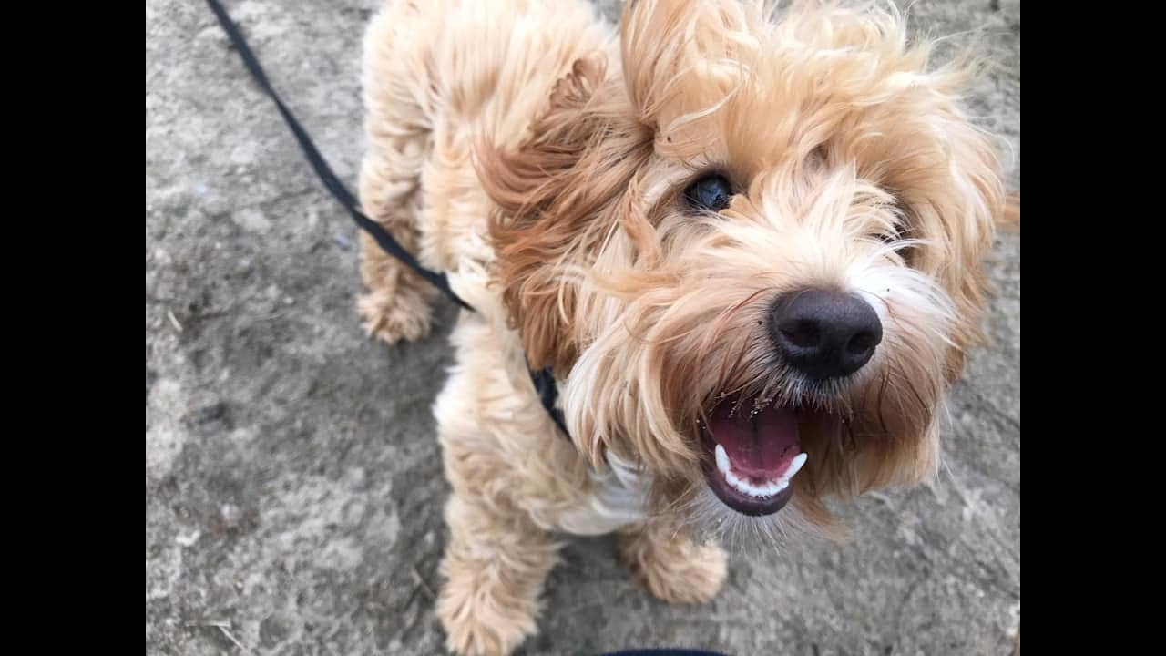 Willow - 6 month old Cavapoo puppy - 3 Weeks Residential Dog Training