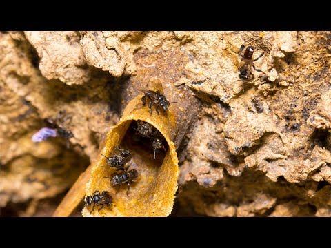 Curso a Distância Criação de Abelhas Nativas sem Ferrão CPT