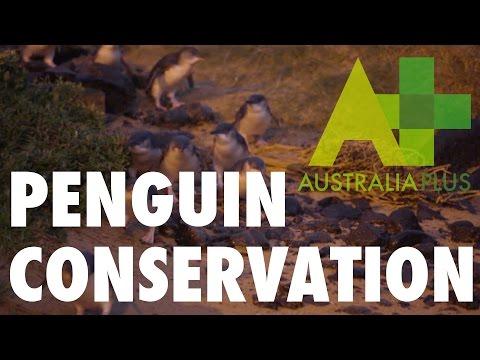 Phillip Island's penguins - Australia Plus