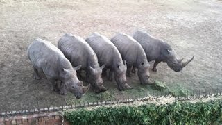 RARE WILDLIFE FOOTAGE - Petting Real Rhinoes in South Africa 2