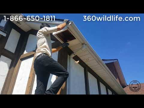 Massive Squirrel Pine Cone Clean UP in attic/soffit