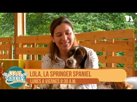 Colas y Bigotes, Lola, la springer spaniel - Teleantioquia