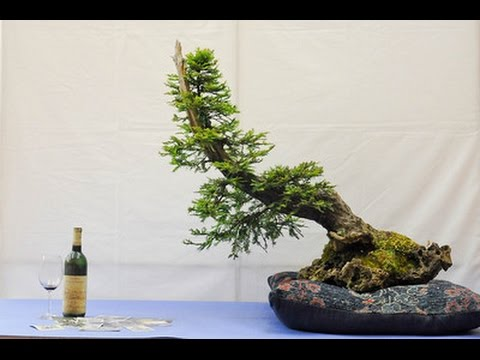 Caring For Your Redwood Bonsai