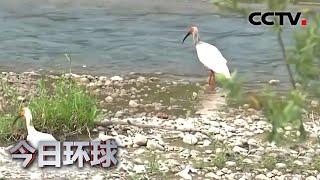 [今日环球] 陕西:野化放飞朱鹮2020年新增20只 总数首次破百 | CCTV中文国际